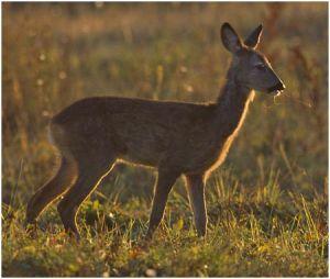 Roe deer - a dock deer?