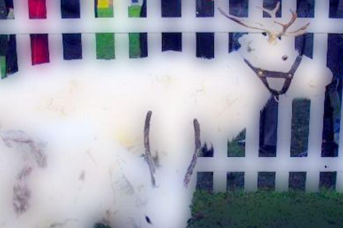Meet the Reindeer at Hedon Christmas Lights