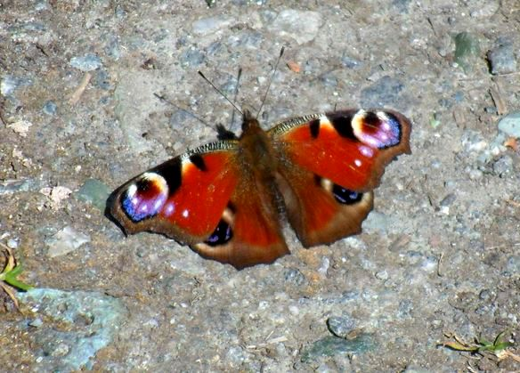 Hedon Bridleway - Peacock butterfly