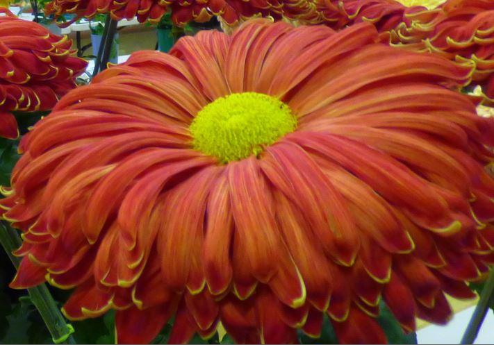 chrysanthemum show 1