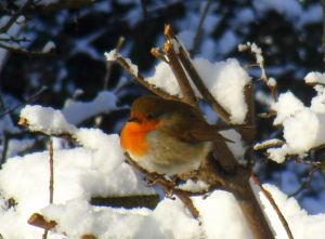 Robin for Blog Advent