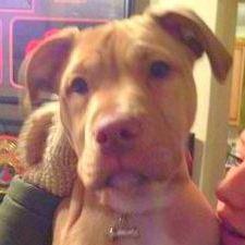 Tilly Staffordshire Bull Terrier-001