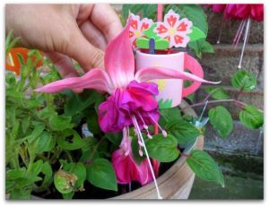 flower fuschia