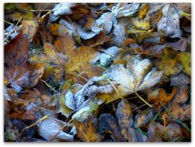 Autumn frosted leaves Stone Creek