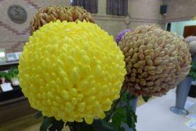 Chrysanthemums 2014