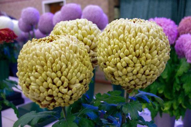 D Heath – 1 vase of 3 blooms intermediate decoratives - Photo: Linda Hinchcliffe