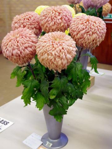 P J Fowler – 1 vase of 5 blooms - Photo: Linda Hinchcliffe