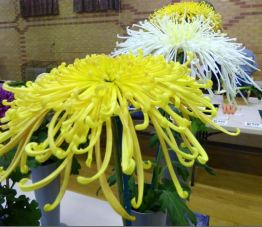 Spider Chrysanthemums