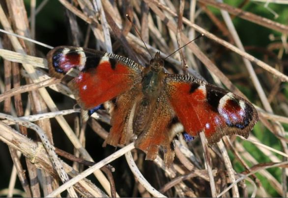 Moth eaten Peacock