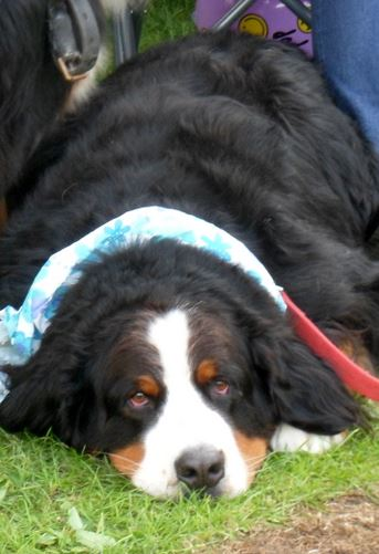 Dog Bernese