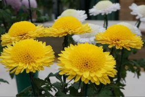 Chrysanthemums 2015 show