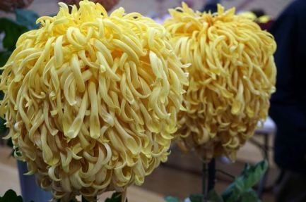 Chrysantheums grown John Backhouse